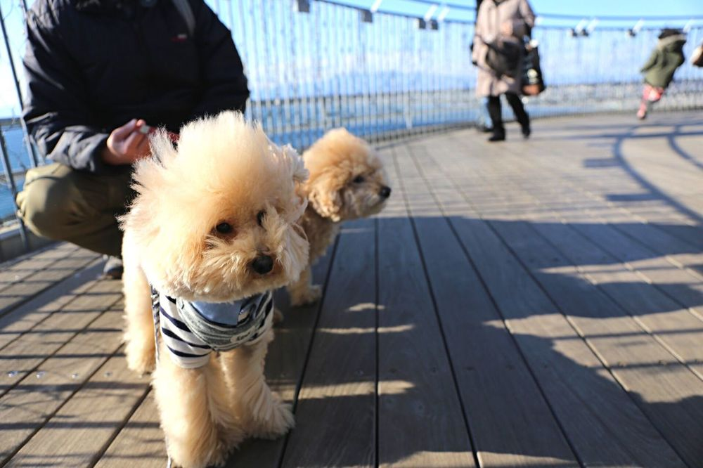 Poodle Love Pet My Toypoodle Sea Toypoodle