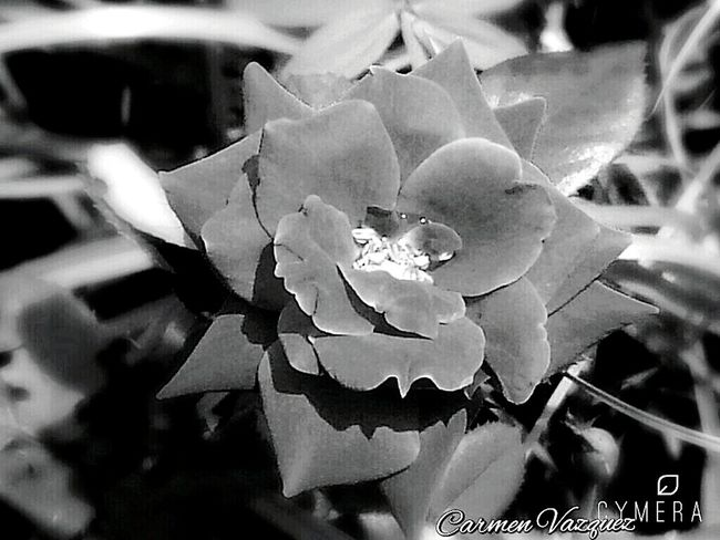 Shades Of Grey Black And White Blackandwhitephotography Flowerphotography Flowerphoto Beautifull Beautifulrose Rose🌹 Rosephotography