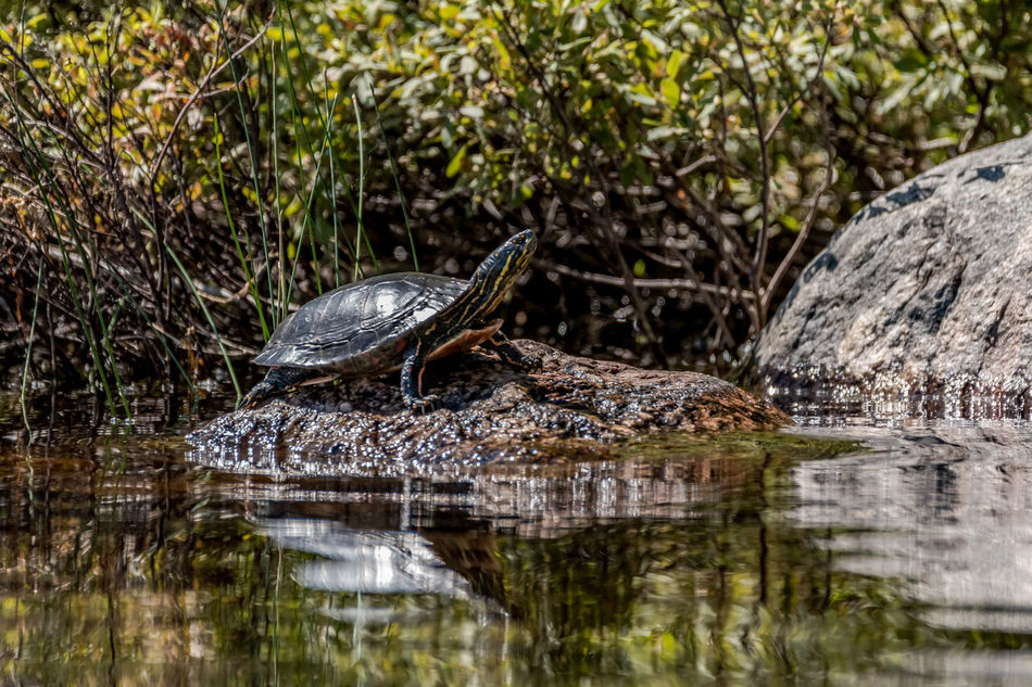 Animals Beauty In Nature Close-up Day Focus On Foreground Lake Lakeshore Natural Habitat Nature Nature Photography No People Ontario, Canada Outdoors Painted Turtle Rocks Showcase July Sunning Sunny Day The Week On EyeEm Turtle Turtle On A Rock Turtle Sunbathing Wildlife Wildlife & Nature Wildlife Photography