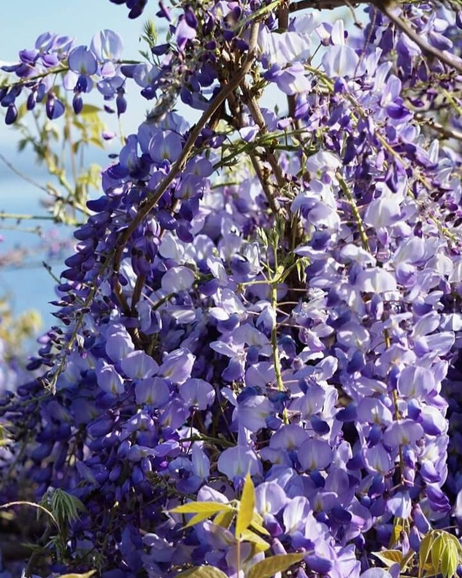 Flower Nature Beauty In Nature Blossom Glicine Wisteria Wisteria Flower Wisteria Outdoors Growth Fragility Freshness Tree Springtime Close-up Branch No People Purple Day Flower Head Violet Violet Flowers Nature Beauty In Nature