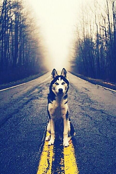 Dog Siberian Husky Siberianhusky Siberiano Darkness First Eyeem Photo