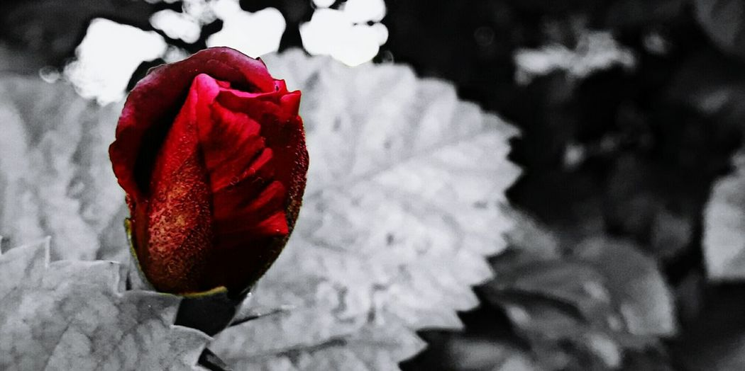 Nature Photography Flower Red