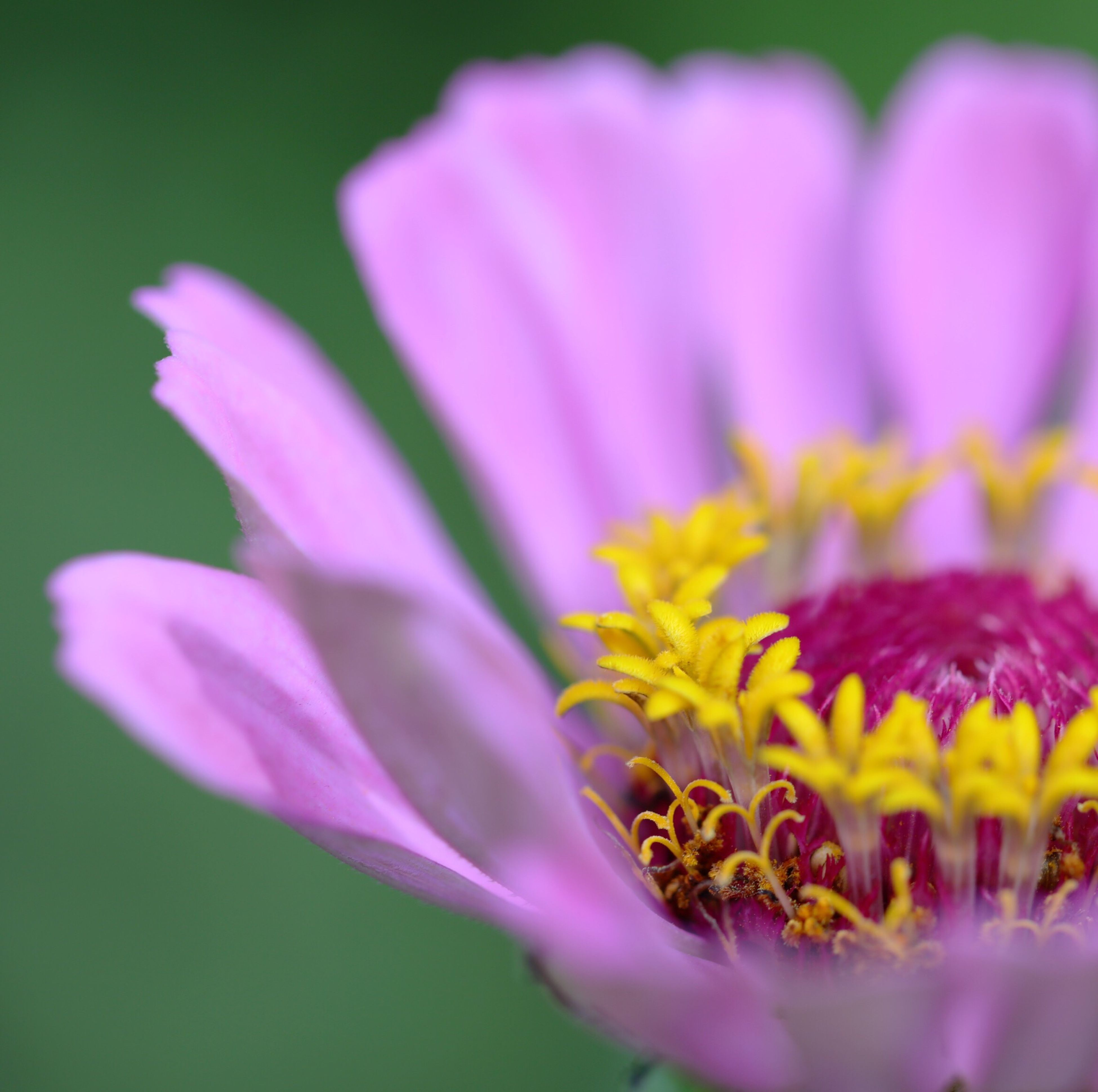 flower, petal, freshness, fragility, flower head, beauty in nature, pink color, growth, close-up, nature, selective focus, focus on foreground, blooming, yellow, plant, in bloom, pollen, purple, blossom, outdoors, no people, day, botany, stamen, macro, softness, tranquility, detail