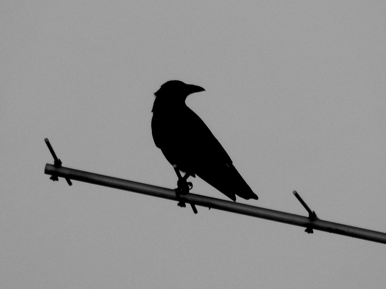 Low Angle View Of Crow Perching On Television Aerial Against Clear Sky