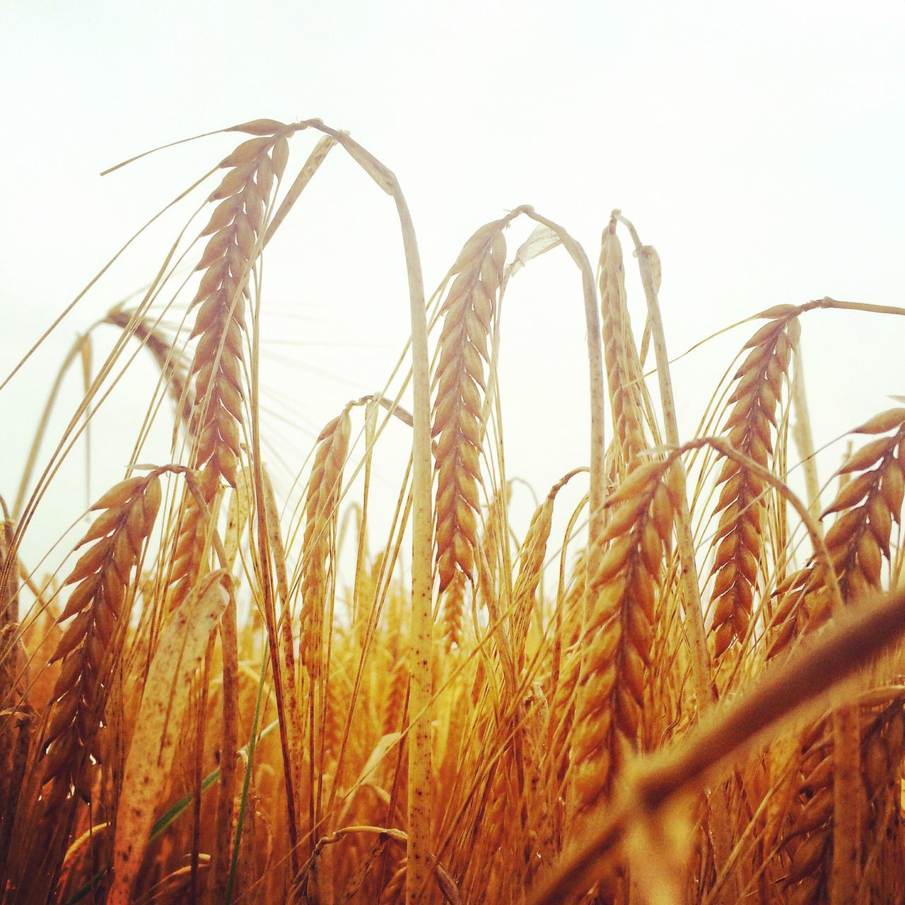 Low Angle View Of Wheat Field Against Clear Sky