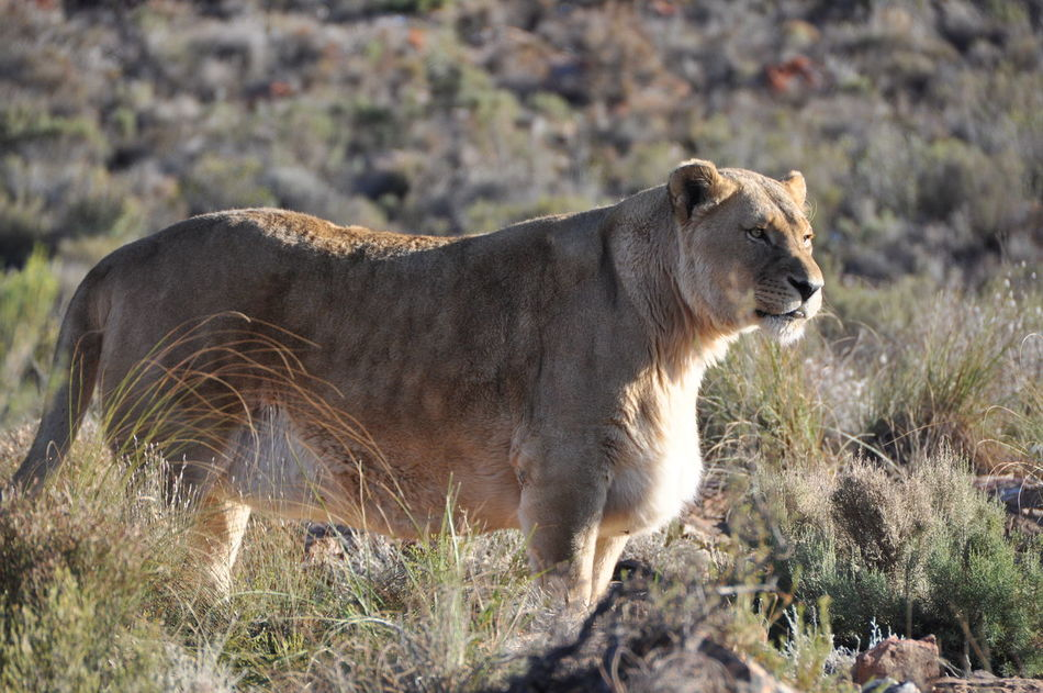 Africa Wildlife Animal Themes Animal Wildlife Animals In The Wild Aquila Game Reserve Day Female Grace Lion Lion - Feline Mammal Nature No People Outdoors