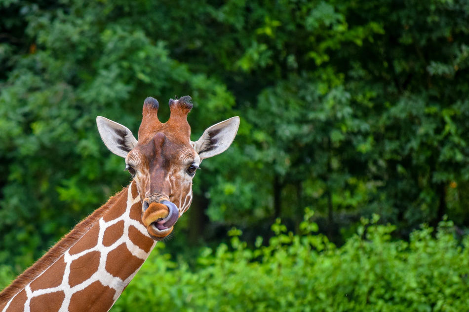 Animal Markings Animal Themes Beauty In Nature Close-up Day Focus On Foreground Giraffe Grassy Herbivore Herbivorous Looking At Camera Nature No People Outdoors Reticulated Giraffe, Relaxing Selective Focus Zoo Zoo Animals  Zoo Photography