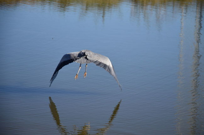 Bird Egret Flying Flying Bird Heron Lake Nature No Edit/no Filter Outdoors Reflection Tranquility Water Water Bird Wings