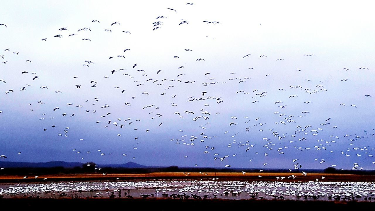 Showcase: February Bosque Del Apache Birds🐦⛅ Birds_collection Birdwatching 👀 Snow Geese In Flight Bird Refusage Sandhill Crane Nature_perfection Ascension Of Birds Landscapes With WhiteWall