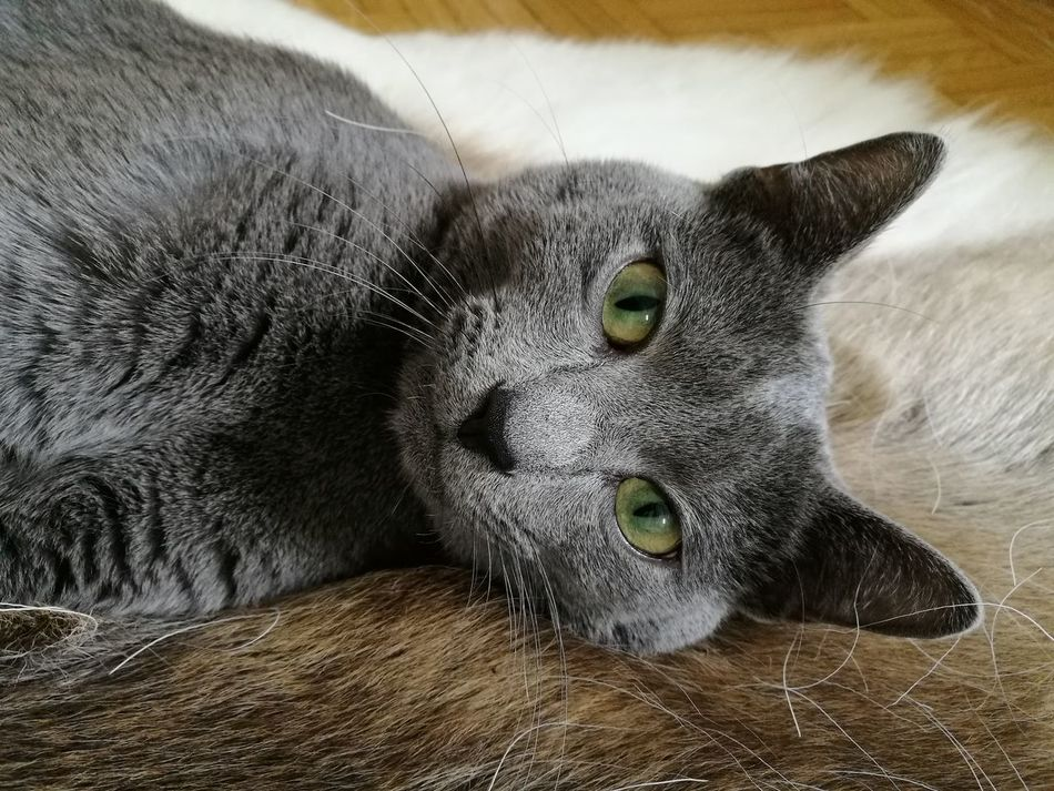 One Animal Looking At Camera Cat Cat Photography Russian Blue Eye Day Nature Grey Close-up Animal Themes Green Eyes Cats Of EyeEm