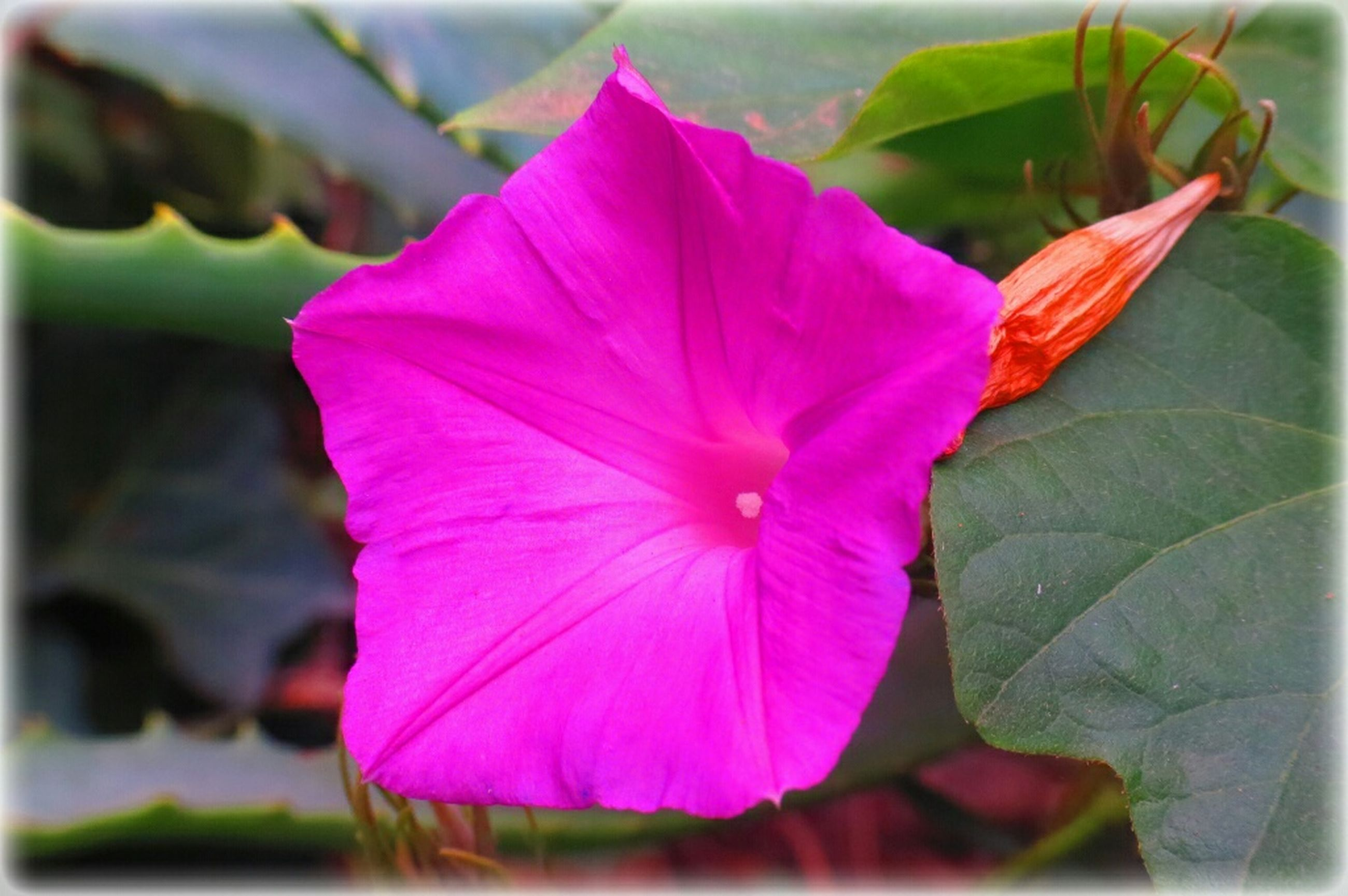 flower, petal, freshness, flower head, fragility, pink color, close-up, growth, beauty in nature, single flower, stamen, focus on foreground, transfer print, blooming, pollen, nature, auto post production filter, blossom, hibiscus, in bloom