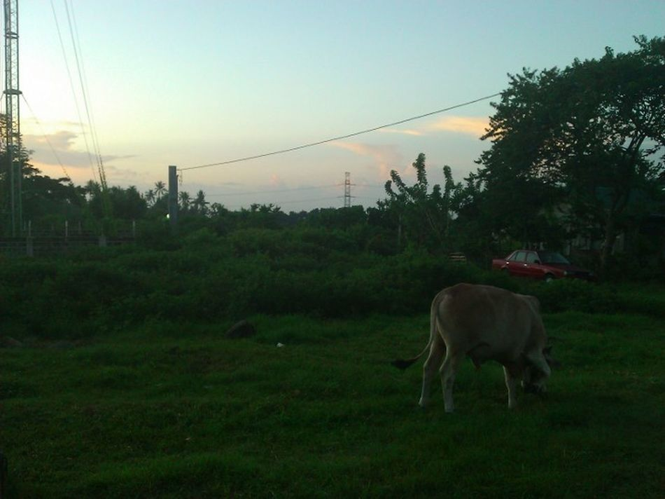 The cow and green grass Animal Themes Domestic Animals No People Landscape Beauty In Nature Day Outdoors Grass Dawn Of A New Day