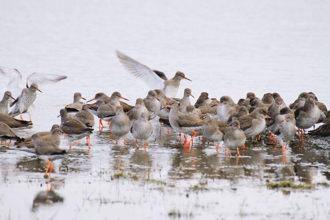 Redshanks at Levenhall Links, Musselburgh Eastlothian Birdlife Scotland Nature Waders Redshanks