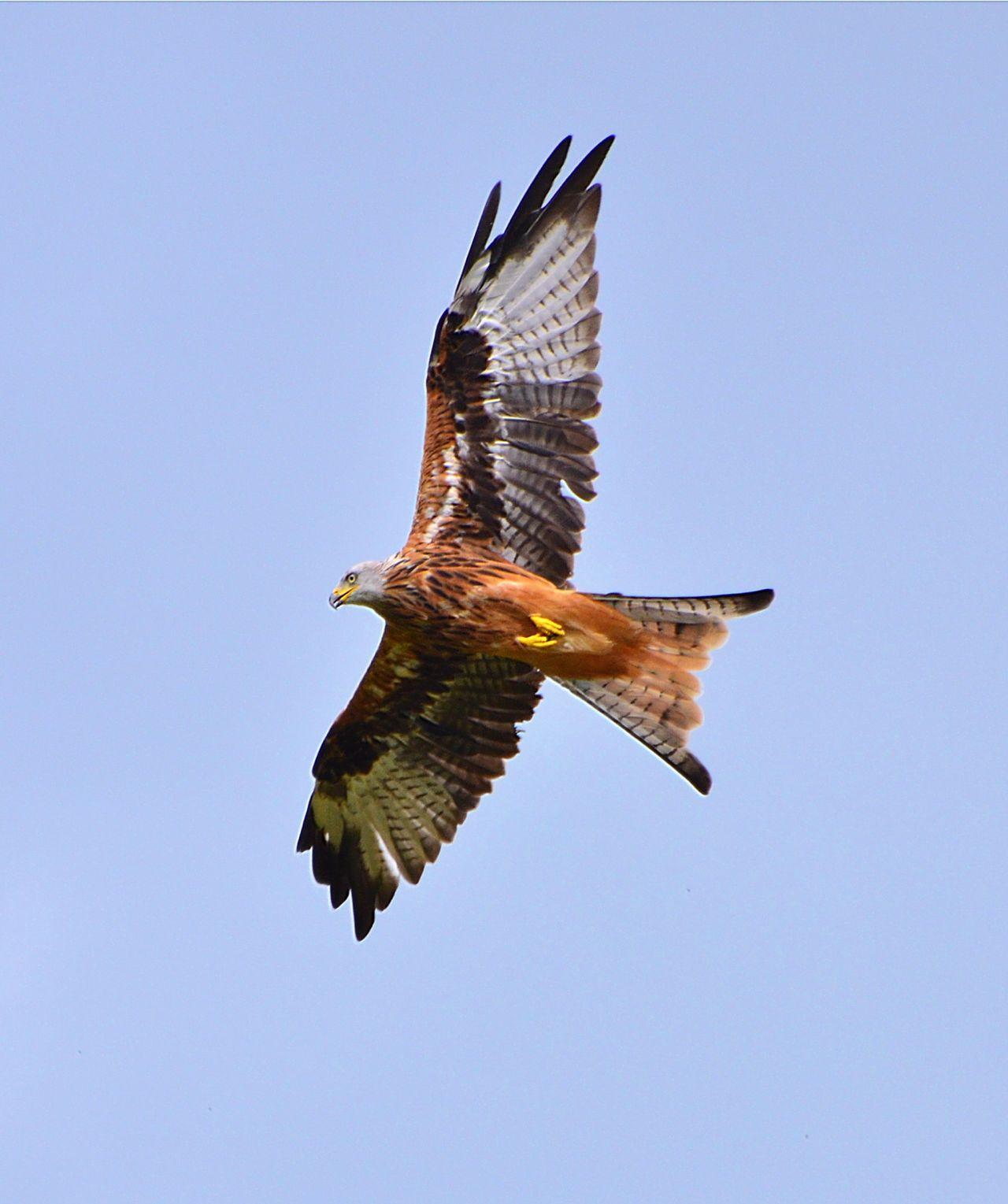 Beautiful stock photos of eagle, Animal Themes, Animals In The Wild, Bird, Bird Of Prey