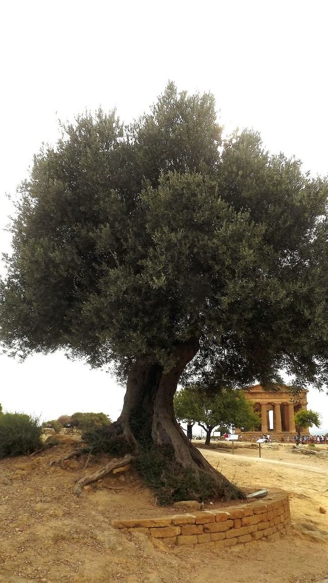 Agrigento Sicily Sicilia Tree Clear Sky Famous Place Architecture History Architectural Feature Scenics Green Color Outdoors Non-urban Scene Temple