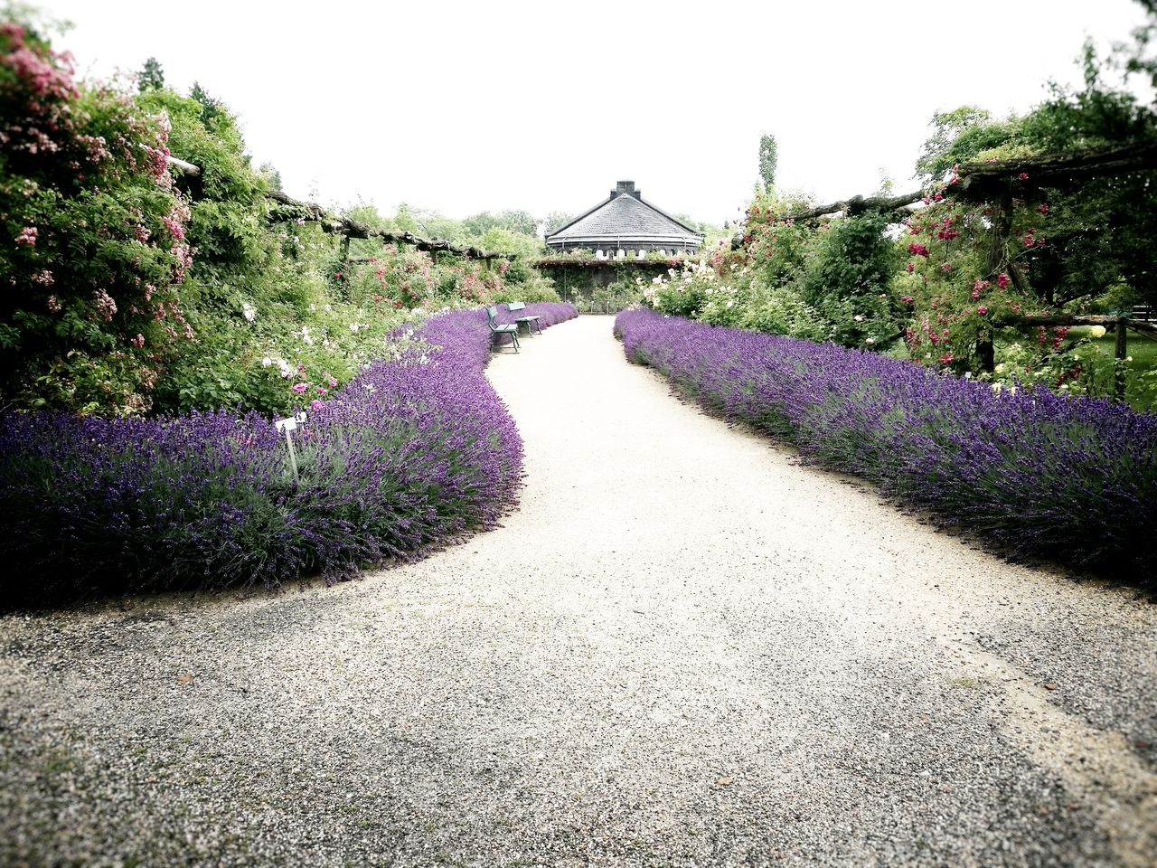 Purple path... Flower Nature Outdoors Day No People Plant Architecture Travel Destinations Flowerbed Building Exterior Beauty In Nature Lavender Roses Path Purple Purple Flowers Sommergefühle EyeEm Selects
