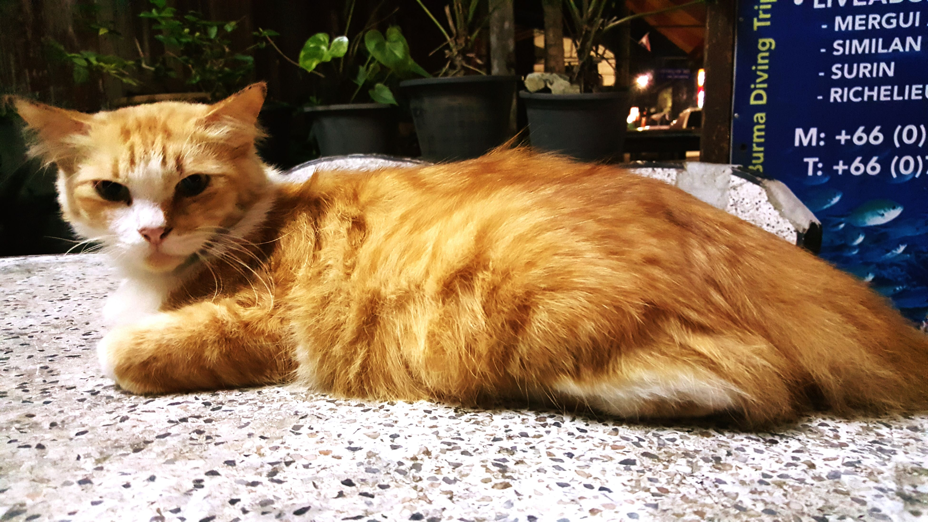animal themes, mammal, domestic animals, one animal, domestic cat, pets, cat, feline, whisker, relaxation, portrait, looking at camera, alertness, sitting, lying down, no people, close-up, outdoors, two animals
