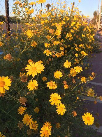 Groundsel Spring Flowers EyeEm Nature Lover Flower_Collection Spring Flowers Loving Flowers
