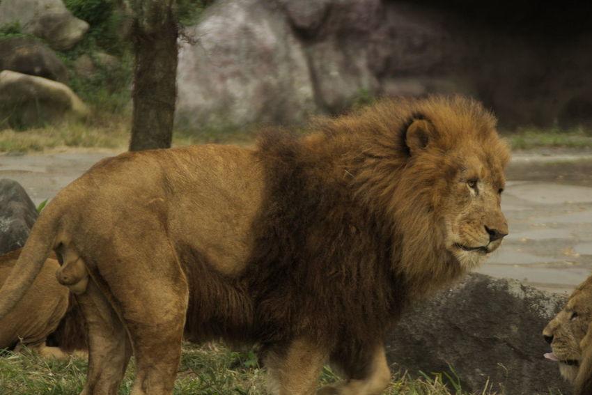 Lion Ooita african safari