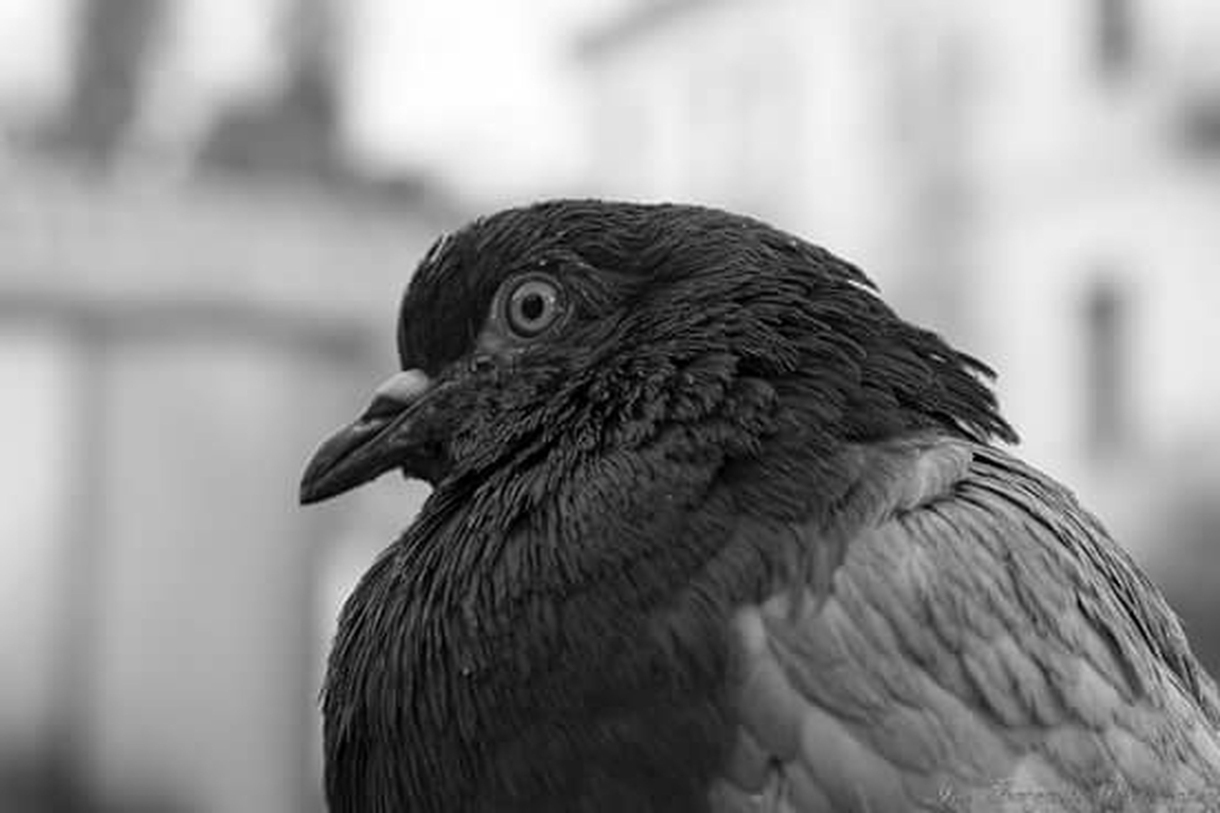 bird, animal themes, one animal, animals in the wild, wildlife, focus on foreground, close-up, beak, perching, bird of prey, side view, looking away, pigeon, outdoors, nature, day, no people, animal head, zoology, feather
