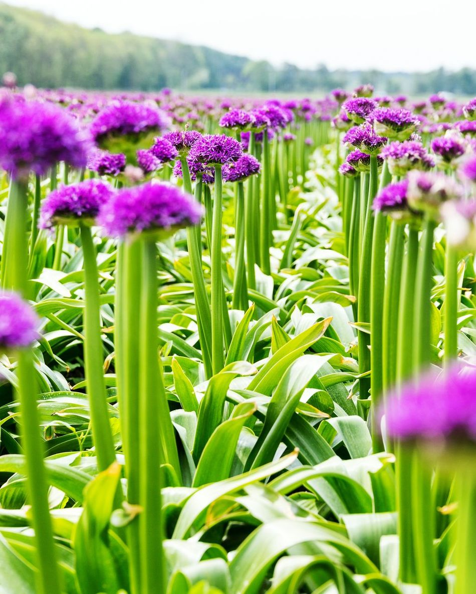 Flower Nature Purple Growth Beauty In Nature Freshness Plant Close-up Focus On Foreground Field Fragility Flower Head Green Color Outdoors No People Day