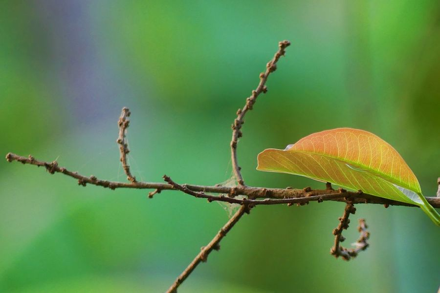 Outdoor Backgrounds Beauty In Nature Close-up Day Focus On Foreground Leaf Leave Morning Nature No People Outdoors Shadows & Lights ธรรมชาติ ใบไม้