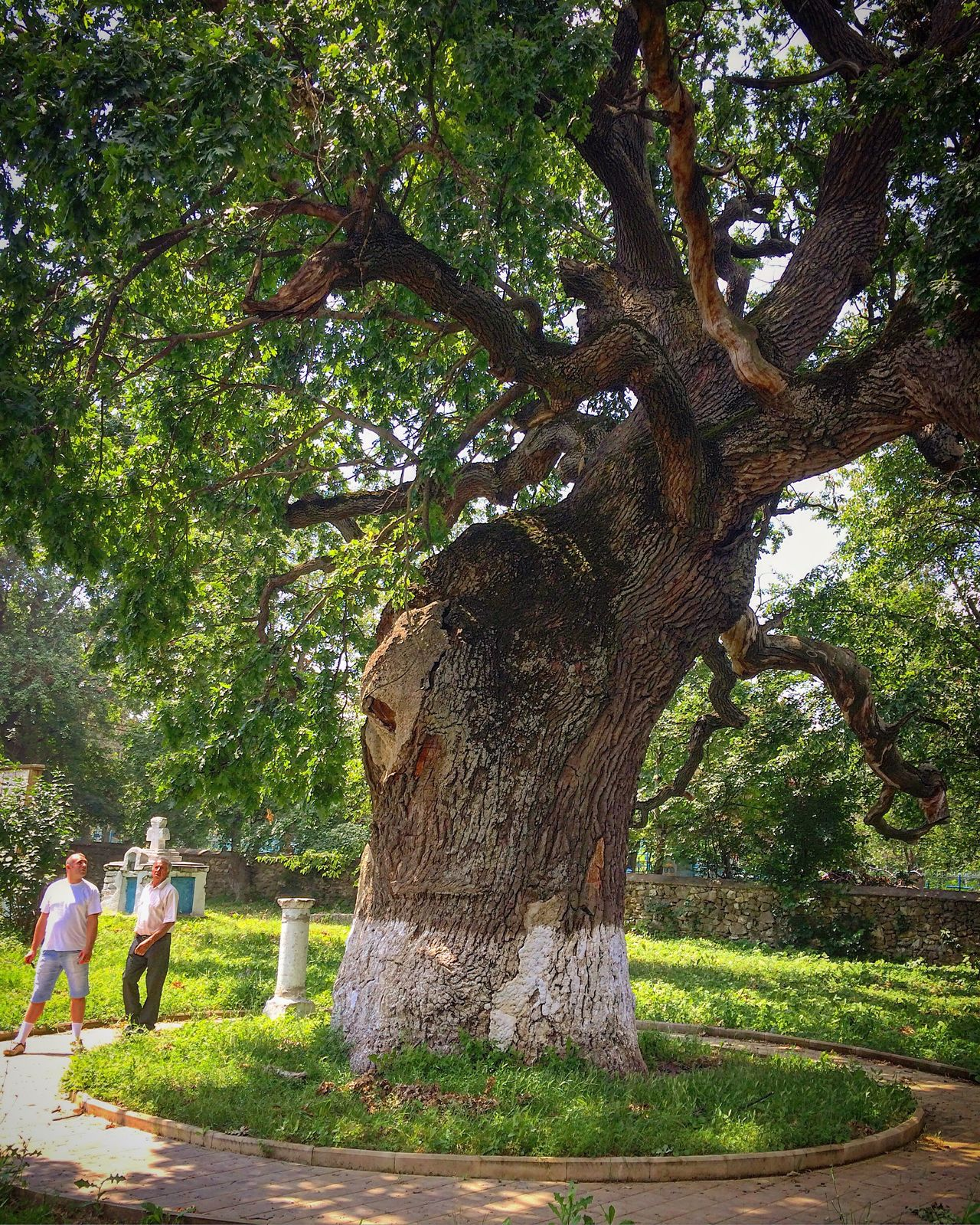 500 years old oak tree