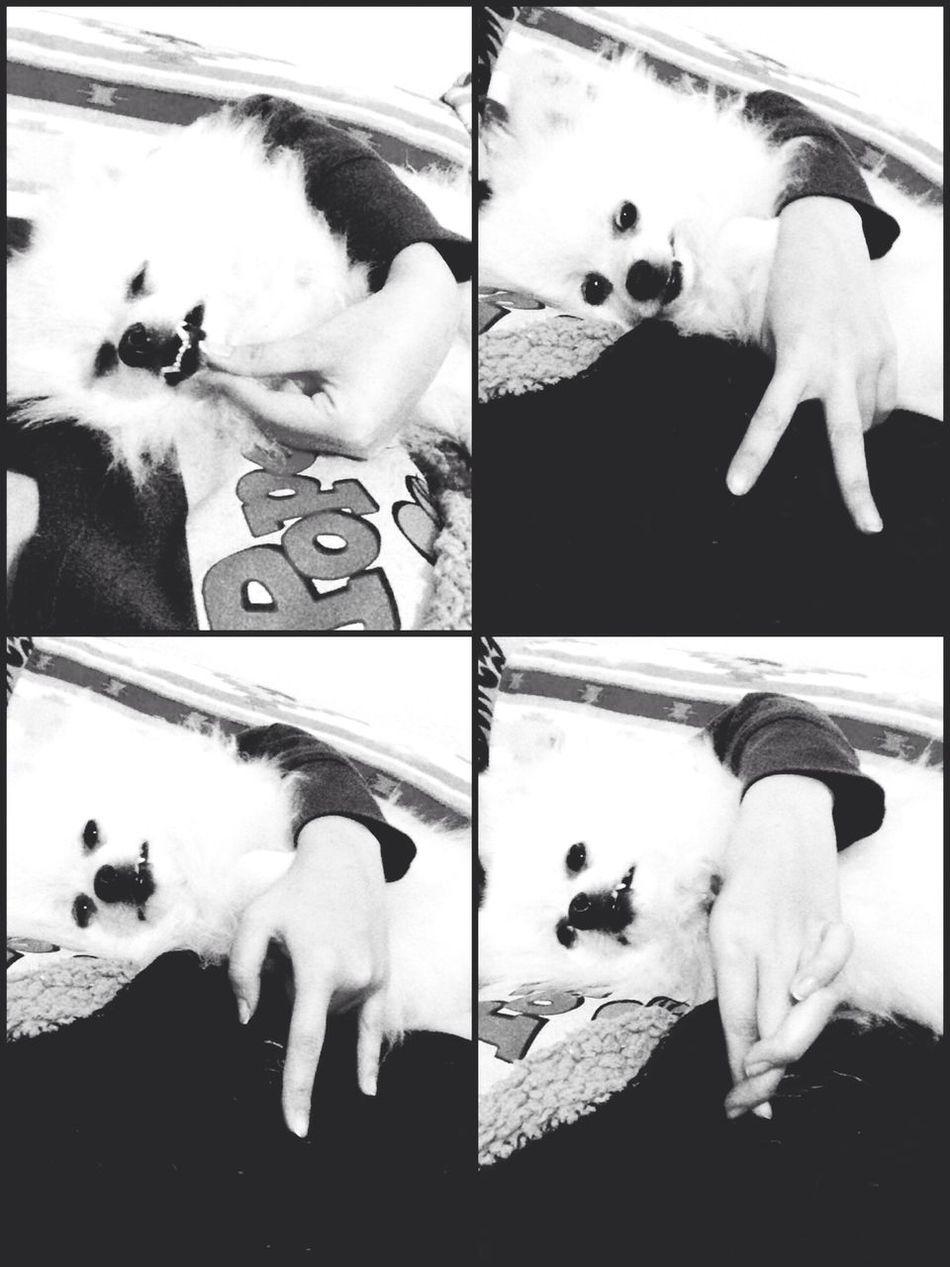 I Love My Dog Pomeranian Korosuke Dog