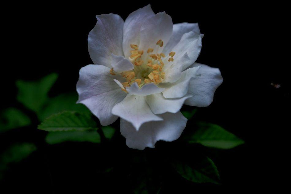 The beauty of white rose... Nature FloraFlower Plants Closeup Photography Wonderfulindonesia