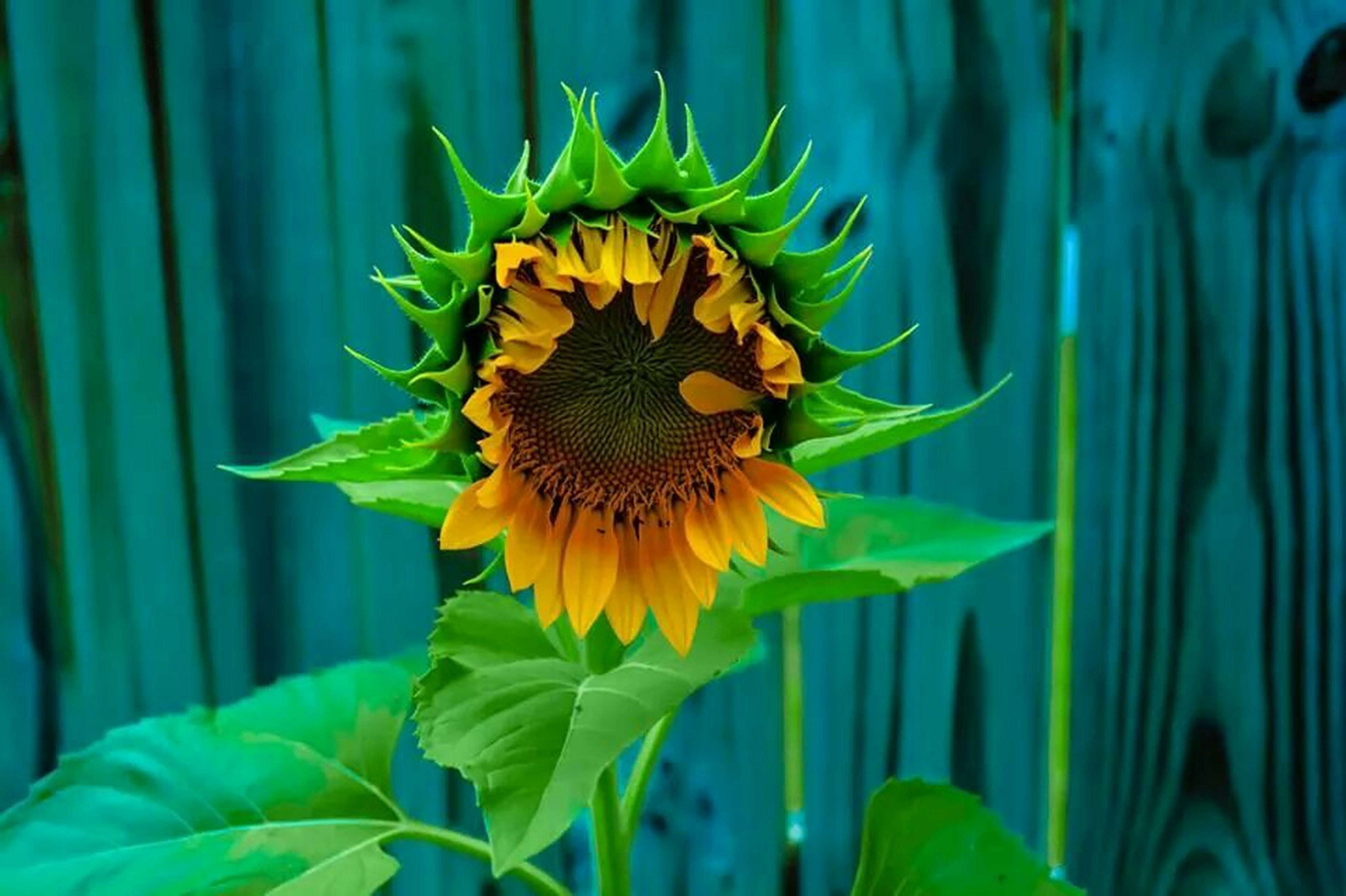 flower, growth, freshness, flower head, fragility, petal, plant, leaf, beauty in nature, yellow, sunflower, blooming, single flower, close-up, nature, green color, focus on foreground, in bloom, stem, field