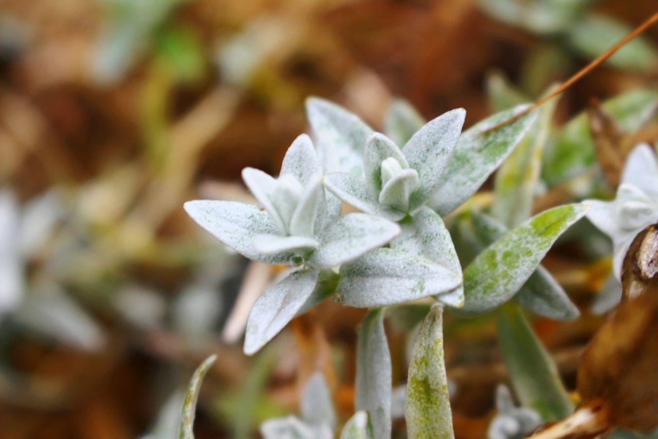 Flower Macro Morlaix EOS700D Holiday White&green