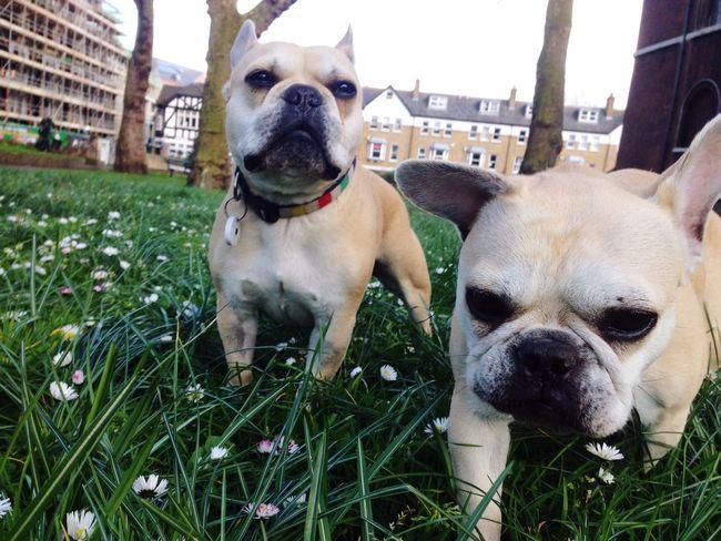 Hanging Out Frenchbulldog Grass Daisy