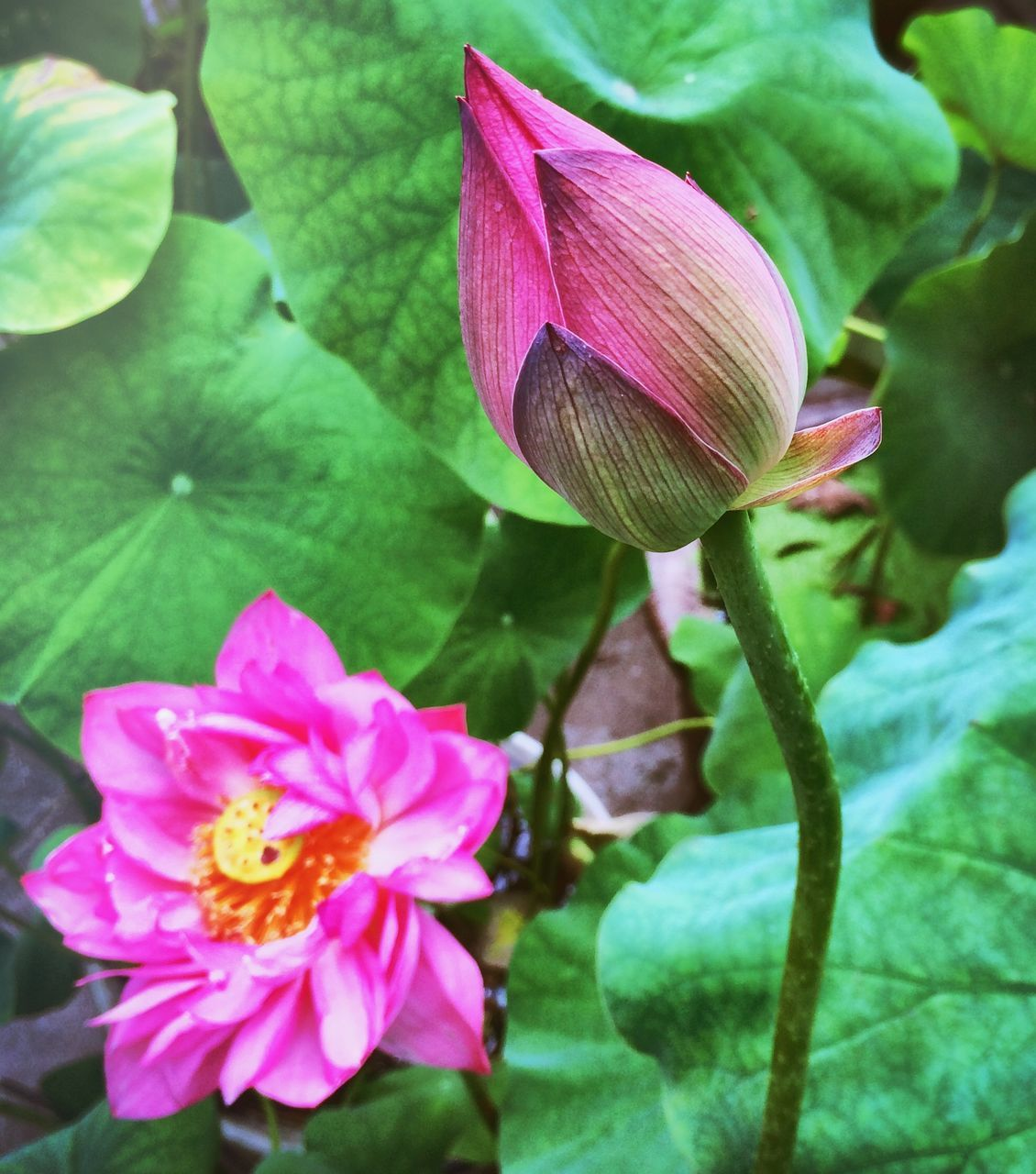 High Angle View Of Lotus Blooming In Pond