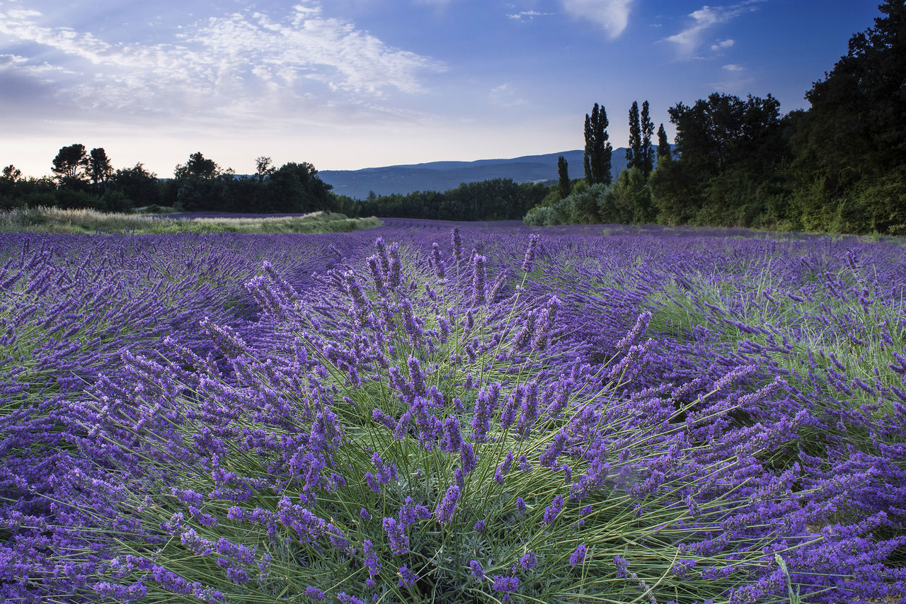 Beauty In Nature Cultures Day Field Flower France Landscape Lavanda Lavanda Field Lavender Nature No People Outdoors Provence Purple Sky