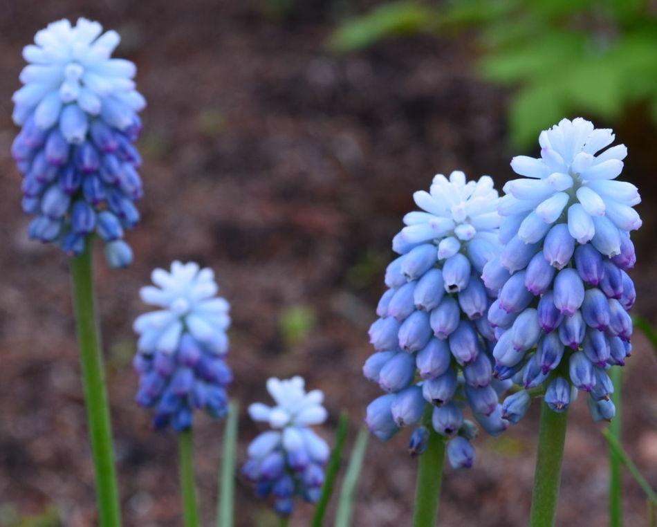 Traubenhyazinthe im Lenz Blau Blossom Blue Blue Wave. Blume Blüte Botanik Botany Draußen EyeEm Blue Wave Flower Frühling Garden Garten Lenz Natur Nature Outdoors Pflanze  Plant Spring