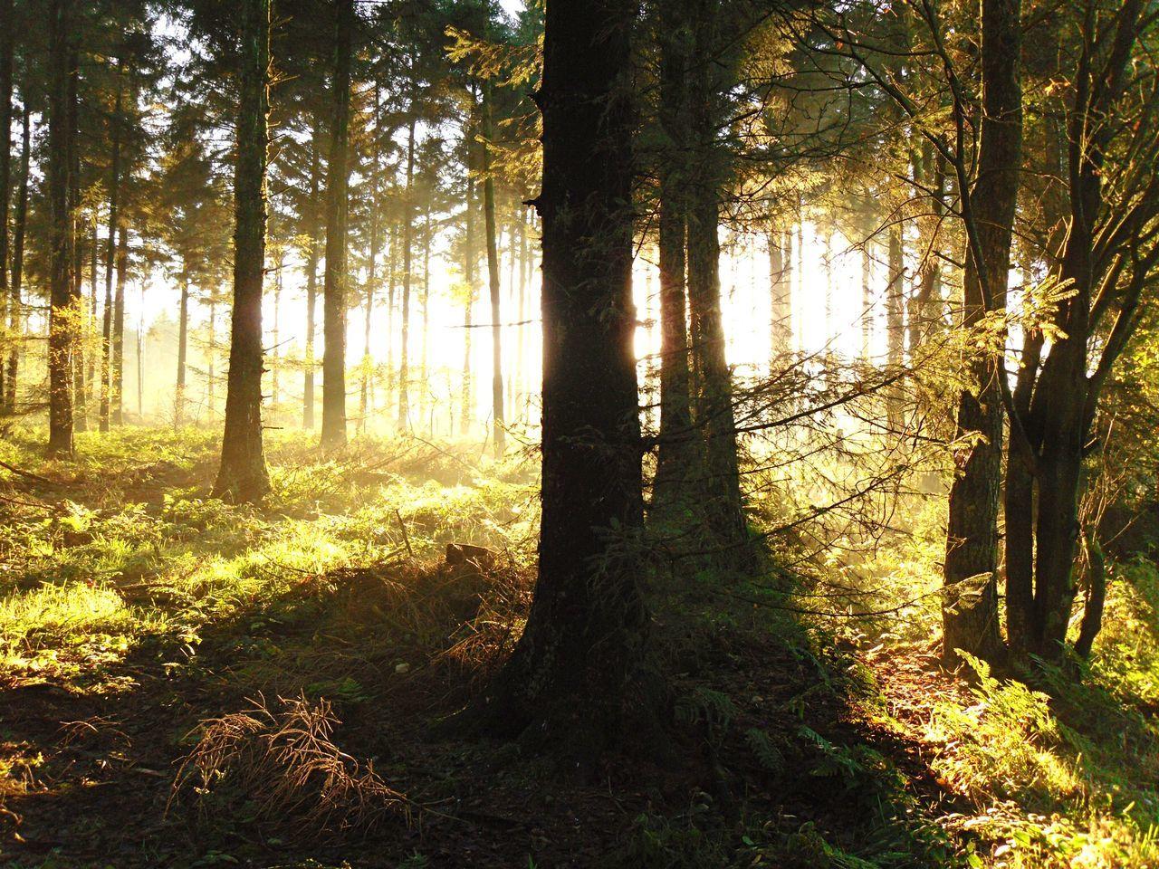 Evening Sun Trees Woodlandwalks WoodLand North Yorkshire Suttonbank Contre-jour Travel