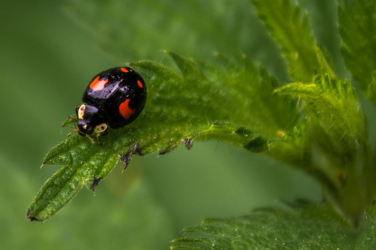 Ladybird III. Animal Themes Beauty In Nature Black Black Color Close-up Day Focus On Foreground Green Green Color Harlequin Ladybird Insect Ladybird Ladybug Leaf Nature No People Outdoors Plant Selective Focus Spots Stinging Nettles Tranquility Cropped Nature's Diversities