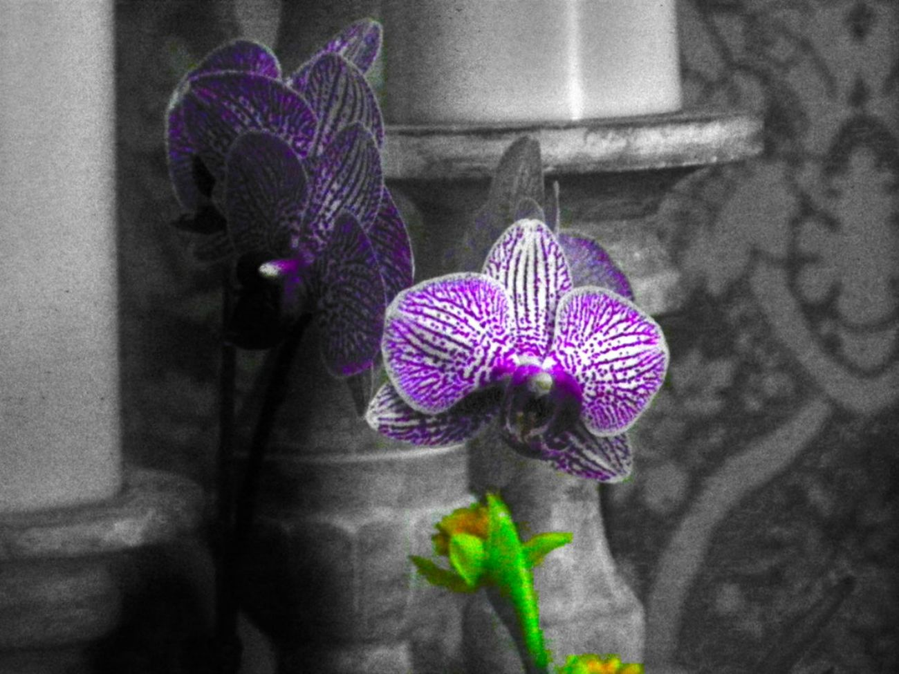Just a Little Color Black And White Blue Candle Close-up Day Flower Flowers Focus On Foreground Gray Green Color Grey Growth House Plant Multi Colored Nature No People Orchid Orchid Blossoms Orchid Flower Orchids Plant Purple Purple Flower Select Color Selective Focus