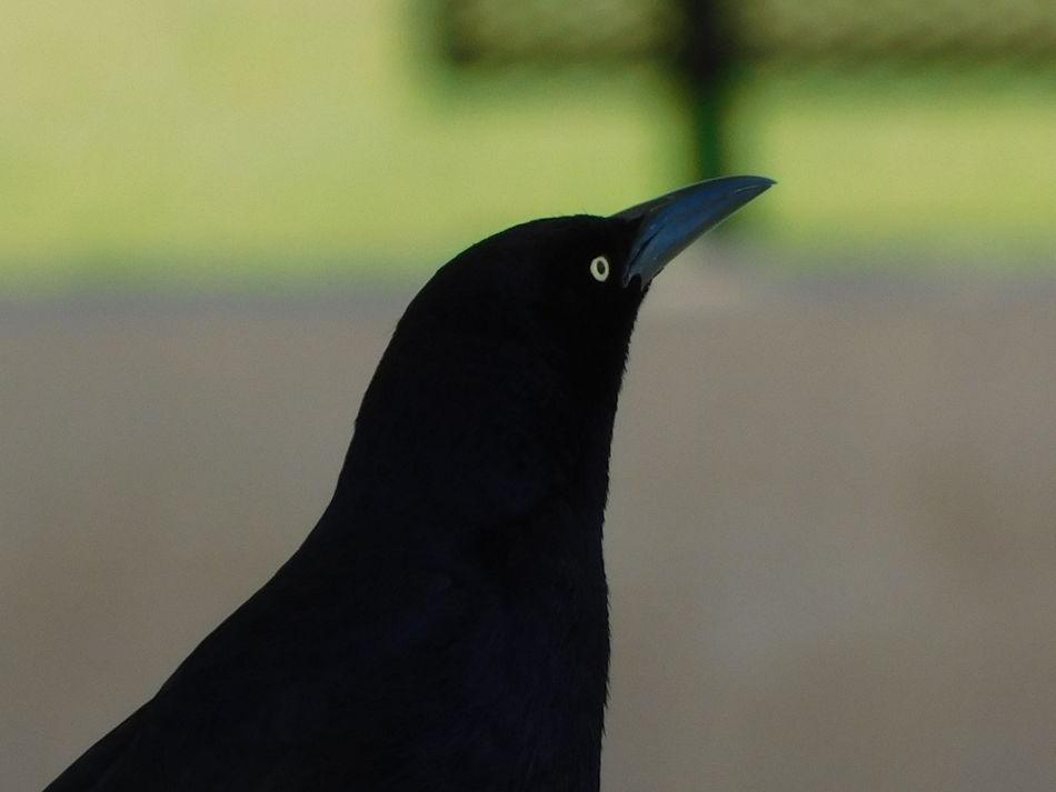 Bird Animal Black Color One Animal Bird Silhouette Close-up Animal Themes Animal Wildlife No People Outdoors Day