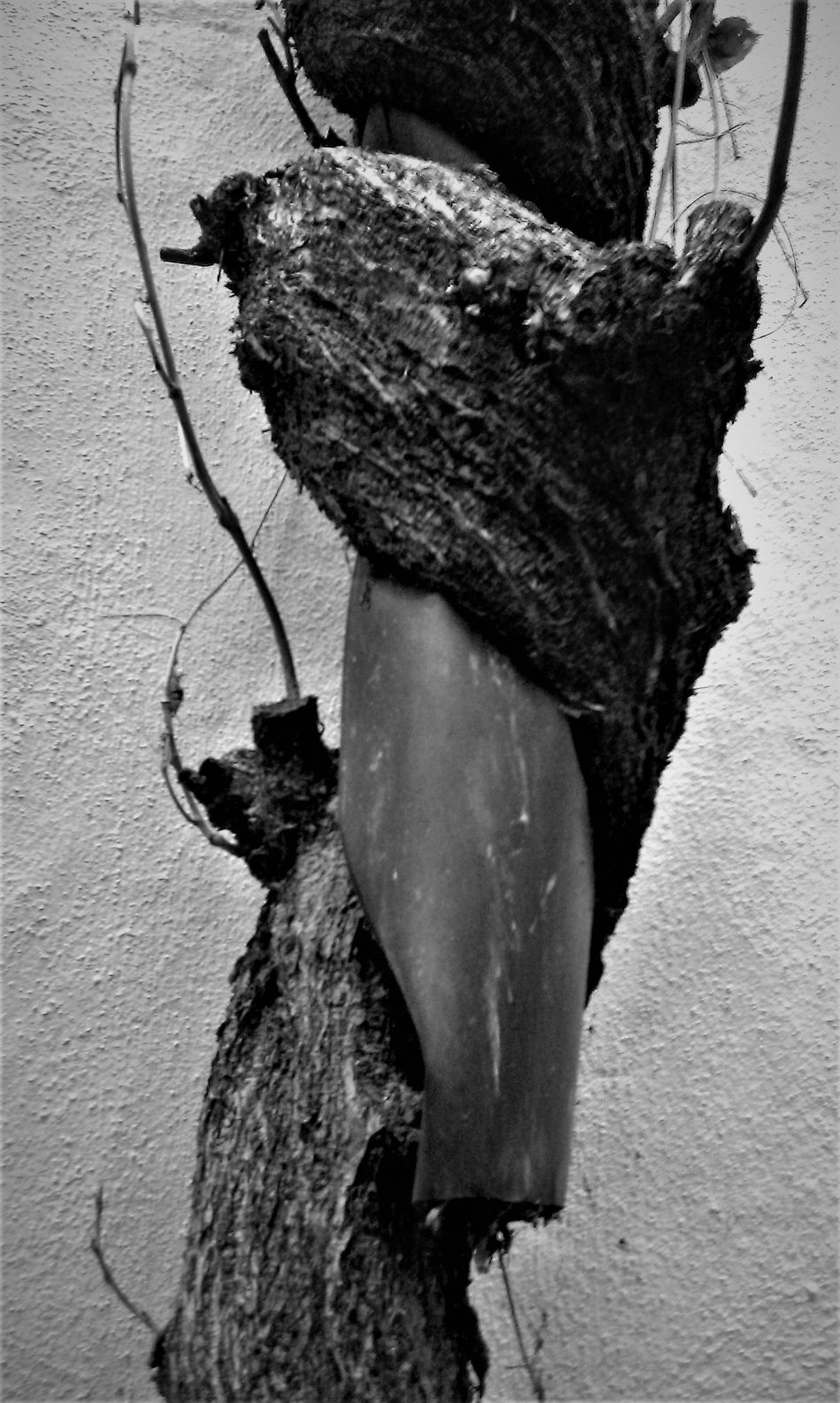 Black & White Blackandwhite Close-up Creeper Plant Day Nature No People Outdoors Power In Nature Twiner Winder Pipe - Tube Pipe