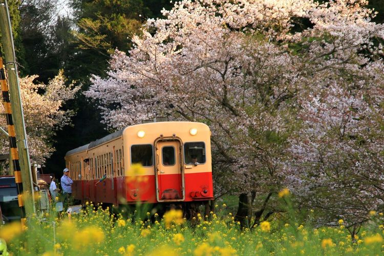 Tree Transportation Mode Of Transport Public Transportation Train - Vehicle Flower Nature Yellow Day Beauty In Nature Land Vehicle Branch Outdoors Plant Growth Grass No People 小湊鉄道 飯給駅