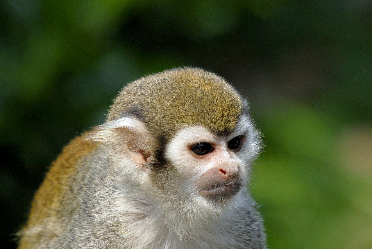 Animal Animal Head  Animal Photography Animal Themes Animal Wildlife Animals In The Wild Animals In The Wild Close-up Day Golden Monkey Gremlins Mammal Monkey Monkey Face Monkeys Nature One Animal Primate