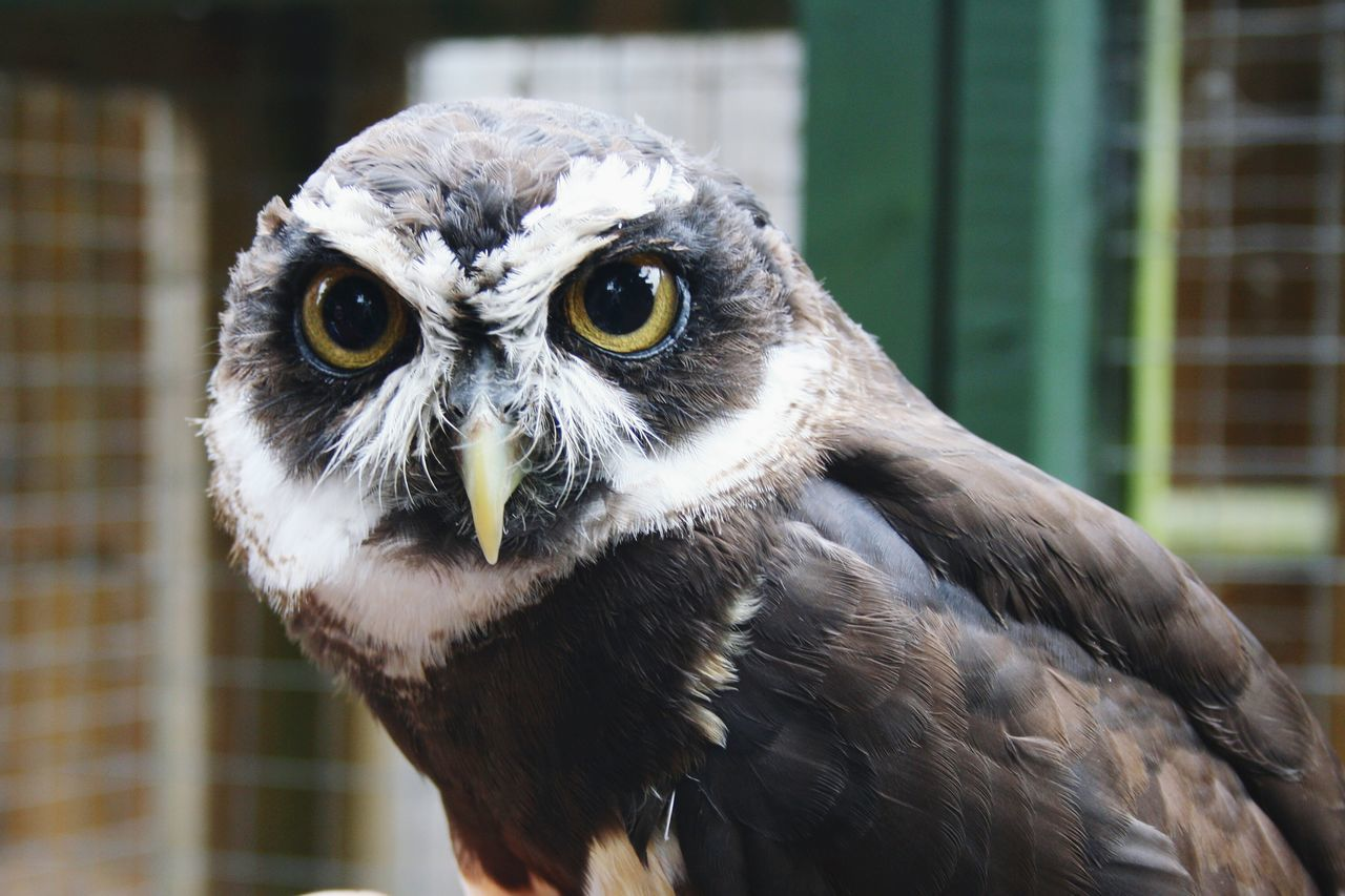 Beautiful stock photos of owl, Animal Themes, Animal Wildlife, Animals In The Wild, Bird