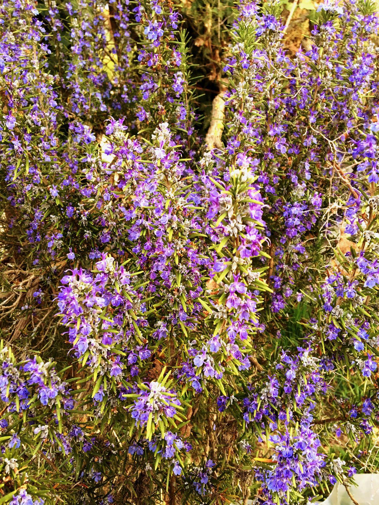 Rosmary Spring Flowers