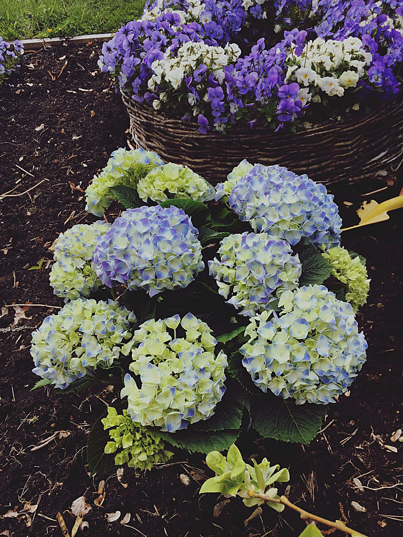 Growth Flower Freshness Nature Plant Purple Beauty In Nature Outdoors Fragility Day High Angle View No People Leaf Hydrangea Close-up Springtime Lilac Flower Head üüüüü