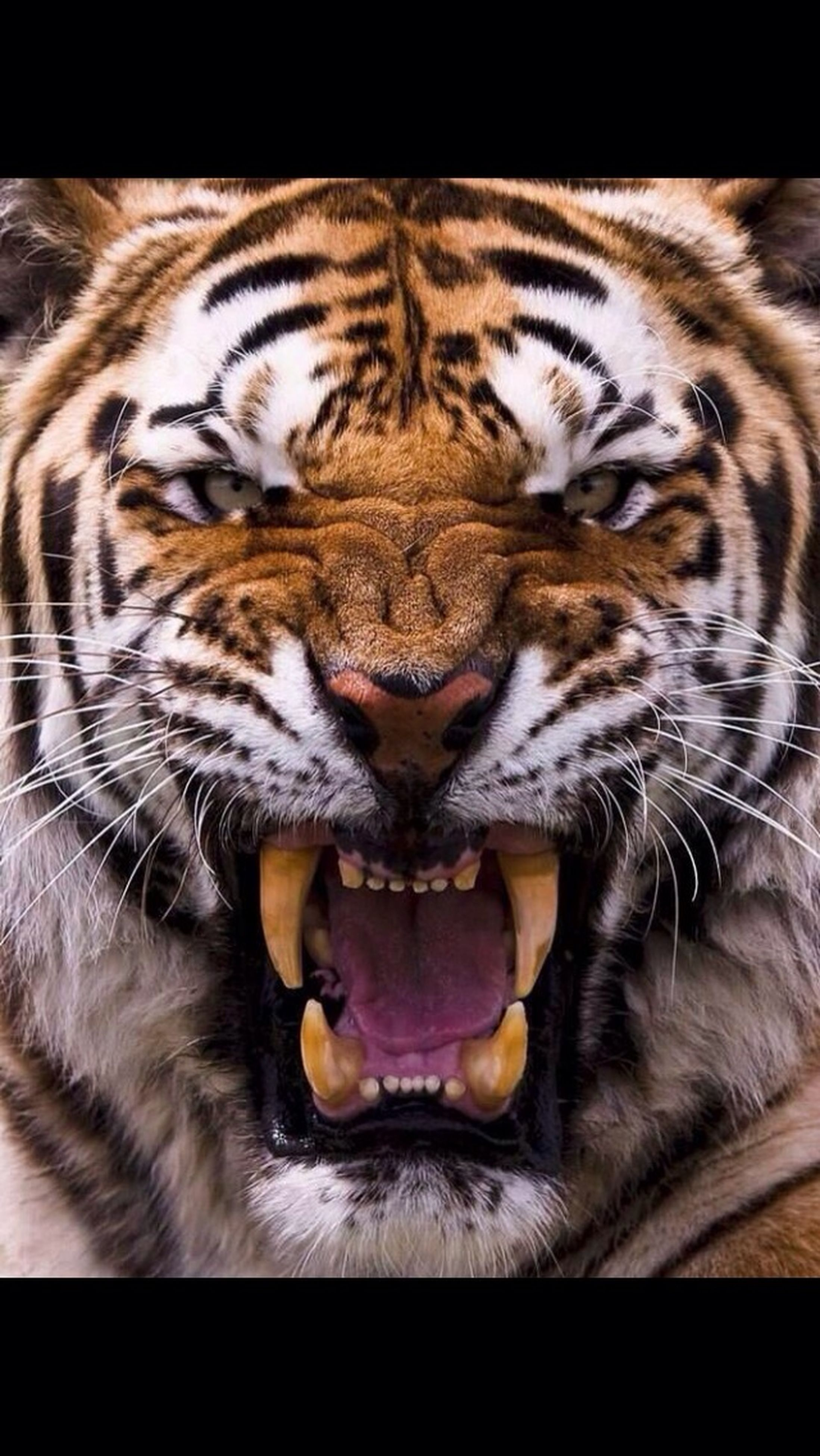 animal themes, one animal, domestic cat, mammal, pets, cat, domestic animals, feline, whisker, indoors, relaxation, lying down, sleeping, close-up, animal head, resting, eyes closed, animal markings, animal body part, tiger