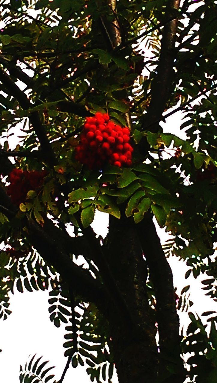 tree, fruit, growth, food and drink, red, branch, healthy eating, low angle view, green color, leaf, no people, nature, freshness, food, day, outdoors, beauty in nature, close-up