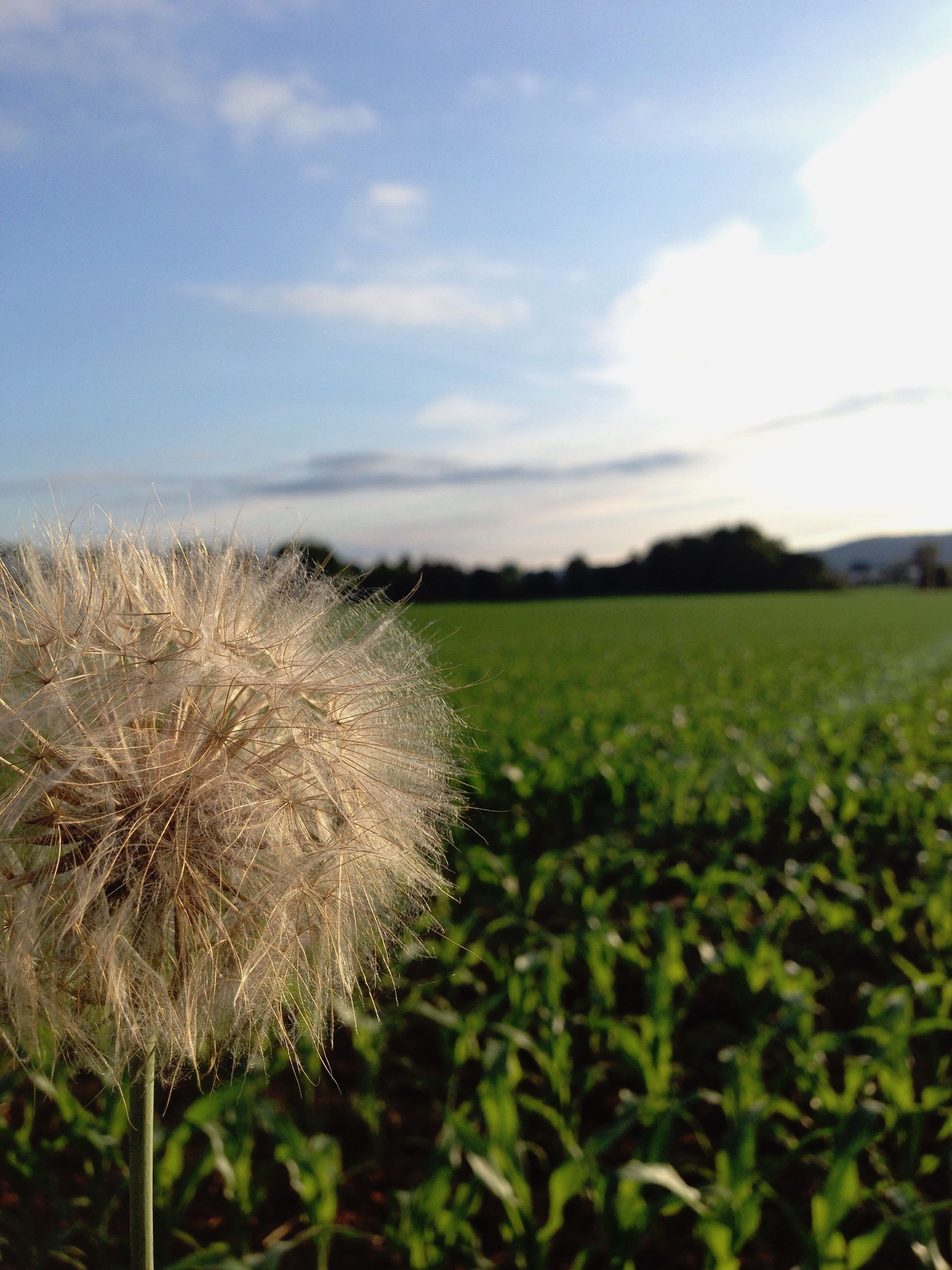 growth, flower, beauty in nature, freshness, field, nature, dandelion, sky, plant, fragility, tranquility, tranquil scene, landscape, flower head, wildflower, rural scene, close-up, focus on foreground, stem, scenics