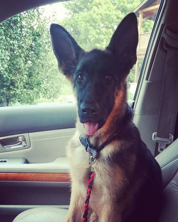 I want to go back to the days where i saw her every second of the day :( Germansheppard PuppyLove Myfirstpriority