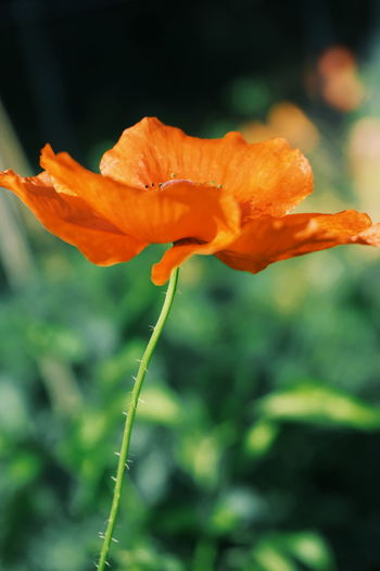 poppy Flower Plant Growth Petal Nature Orange Color Flower Head Beauty In Nature Fragility Close-up Freshness Outdoors No People Day Day Lily Poppy Poppy Season Poppy Flower Poppy Flowers Beauty Blossom Red Leaf Freshness Beauty In Nature
